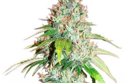 Master Kush Seeds