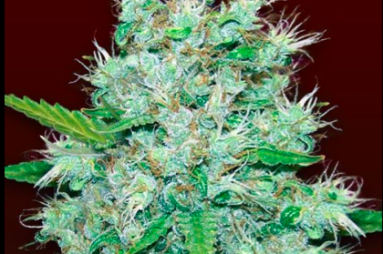 Orange Kush Feminized