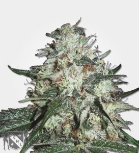 cotton-candy-seeds marijuana-seeds nl