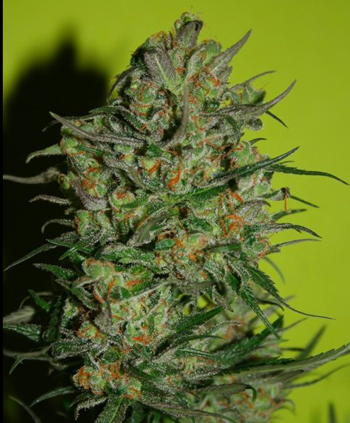 Monster Seeds Feminized