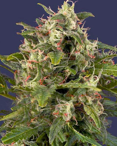 PINEAPPLE EXPRESS Seeds