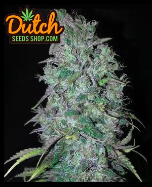 Pineapple Kush Feminized (10 seeds)