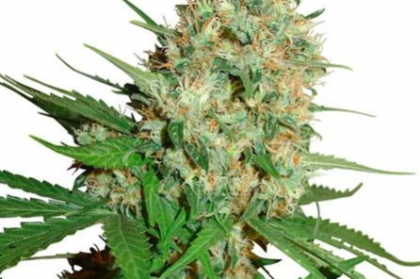 Trainwreck Marijuana Seeds