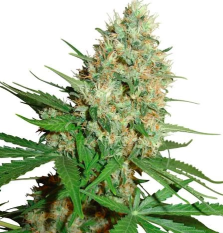 Trainwreck Marijuana Seeds